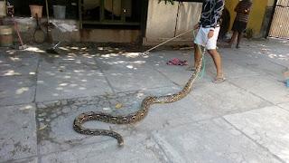 Menyeramkan, Ular-ular Ini Muncul Karena Banjir Rob