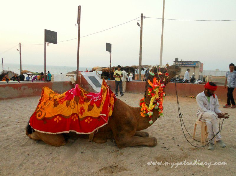 Camel waits for sunset ride at Bhadkeshwar Shiv Temple, Dwarka, Gujarat