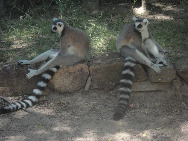 ring tailed lemur isalo