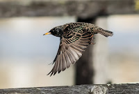European / Common Starling - Birds In Flight Photography Cape Town with Canon EOS 7D Mark II