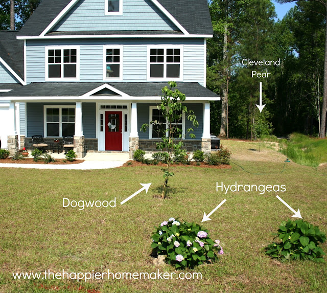 A large front yard with hydrangeas, a dogwood and a cleveland pear tree planted