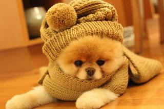 El Pomerania es uno de los favoritos entre los grupos de perros. Su entrañable cara de zorro y su pelaje cómico son casi irresistibles. Sin embargo, el Pomerania no es para el perro tradicional, tranquilo y aferrado