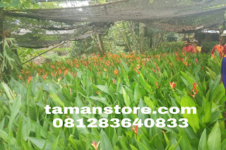 Jual pisang heliconia