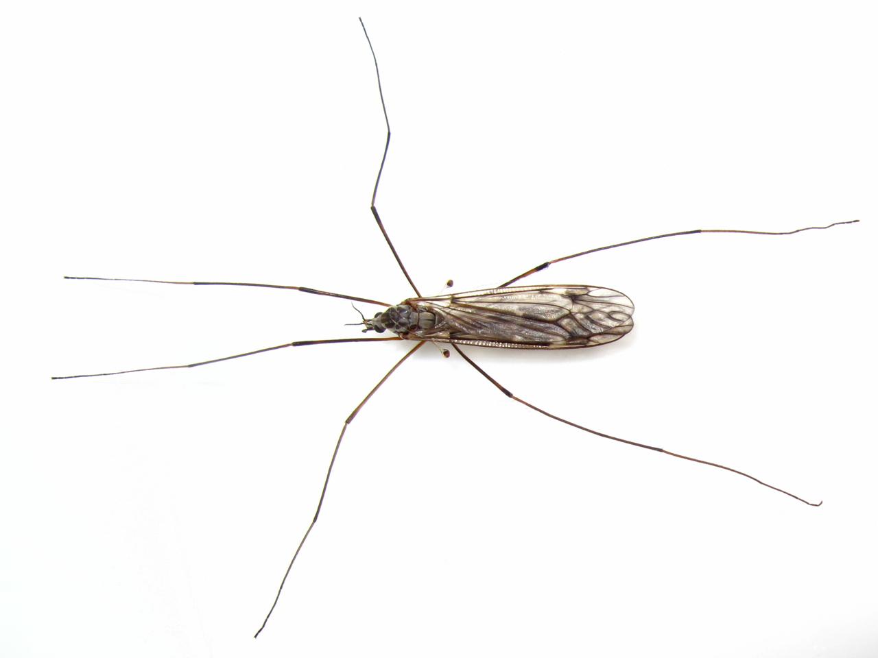 BugBlog: Crane Fly halteres