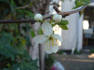 Photo close up of a plum blossom with a house in the background