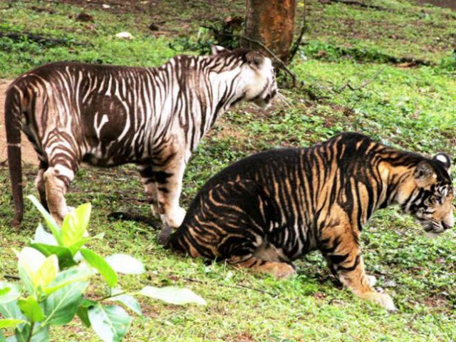 An extremely rare black tiger, or melanistic tiger, was born to a white tiger at the Nandankanan Zoological Park in India. The Zoo Houdinis and other stories. marchmatron.com