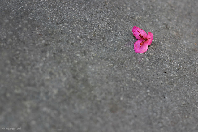 A Minimalist Photo of Pink Bougainvillea Flower on Gray Background