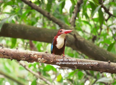 White throated Kingfisher in Bidadari, May 2015