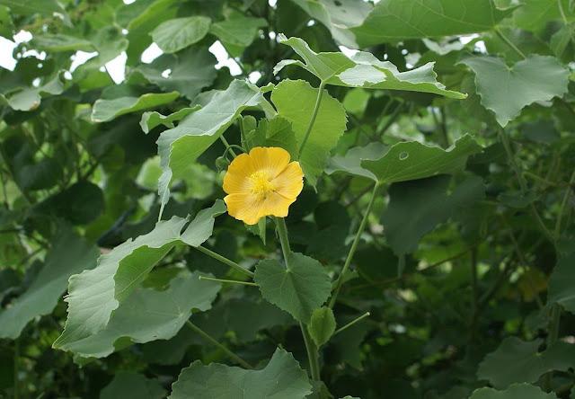 Hoa Cây Cối Xay - Abutilon indicum - Nguyên liệu làm thuốc Chữa Cảm Sốt