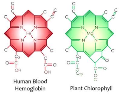 hemoglobin ve klorofil hücre benzerliği