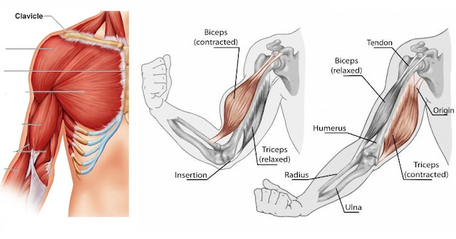 Reasons Your Muscles Stop Growing
