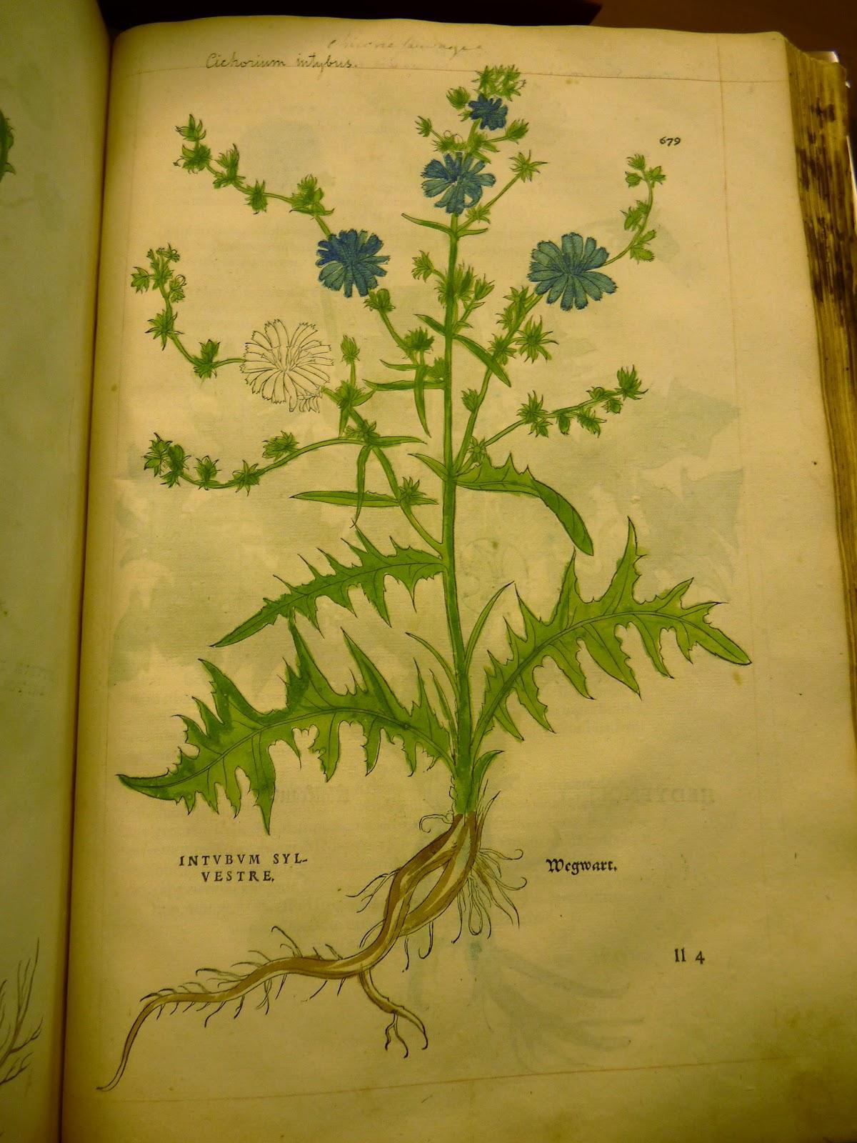 Leonhart Fuchs (1501 – 1566) - 2 botanical woodcut prints ...  |Botanical Woodcut
