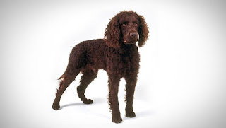 Everything about your American Water Spaniel