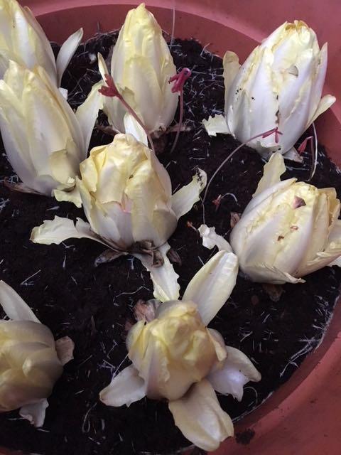 witlof kweken