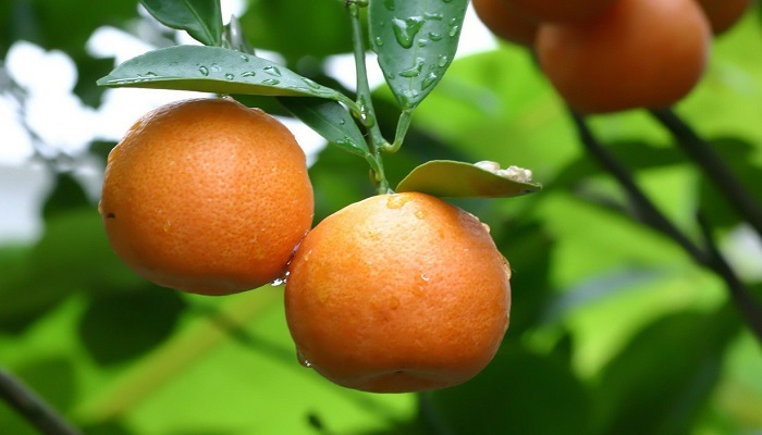 Export Genius: List of Russian Buyers of Citrus Fruits with Other
