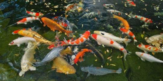Ikan Koi Cantik