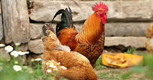 Rincian Biaya Modal Usaha Ternak Ayam Kampung Investasi Untung