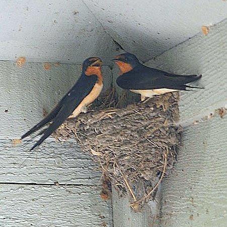 """""""Bird Poop"""" of north Texas: Barn Swallows often make a ..."""