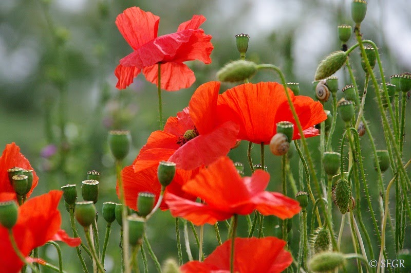 Seeds For Green Roofs Papaver Rhoeas Poppy A Burst Of