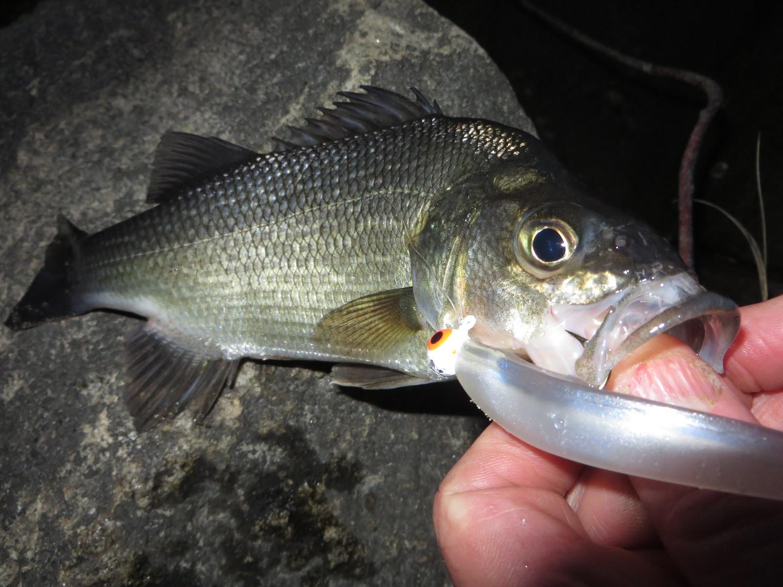 Rhode island striped bass close but no cigar geenschuldenfo Image collections