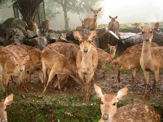 Rusa - Taman Safari Bogor