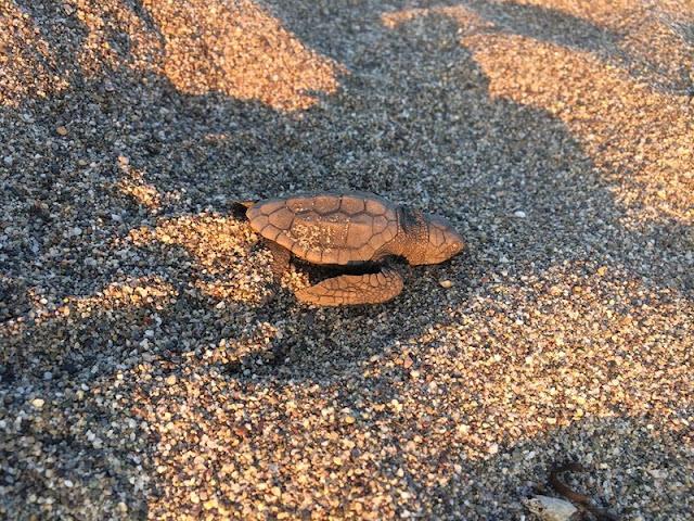 Τα πρώτα χελωνάκια κολυμπάνε στον Λακωνικό Κόλπο