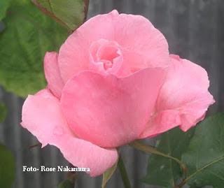 maravilhosa rosa cor de rosa