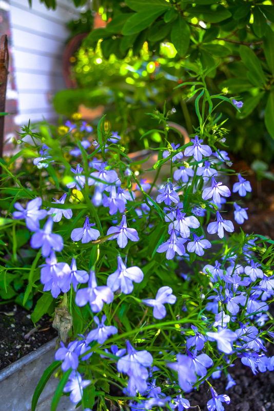 Lobelia flowers in full bloom in this summer flower bed.