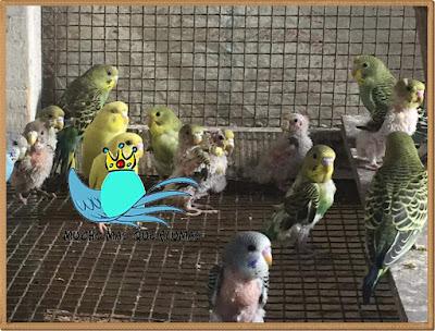 enfermedad del pico y plumas PBDF y alimentación incorrecta en aves