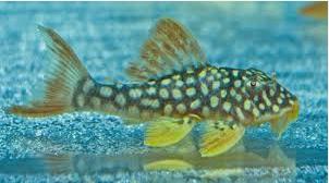 Ikan Sapu Sapu hias