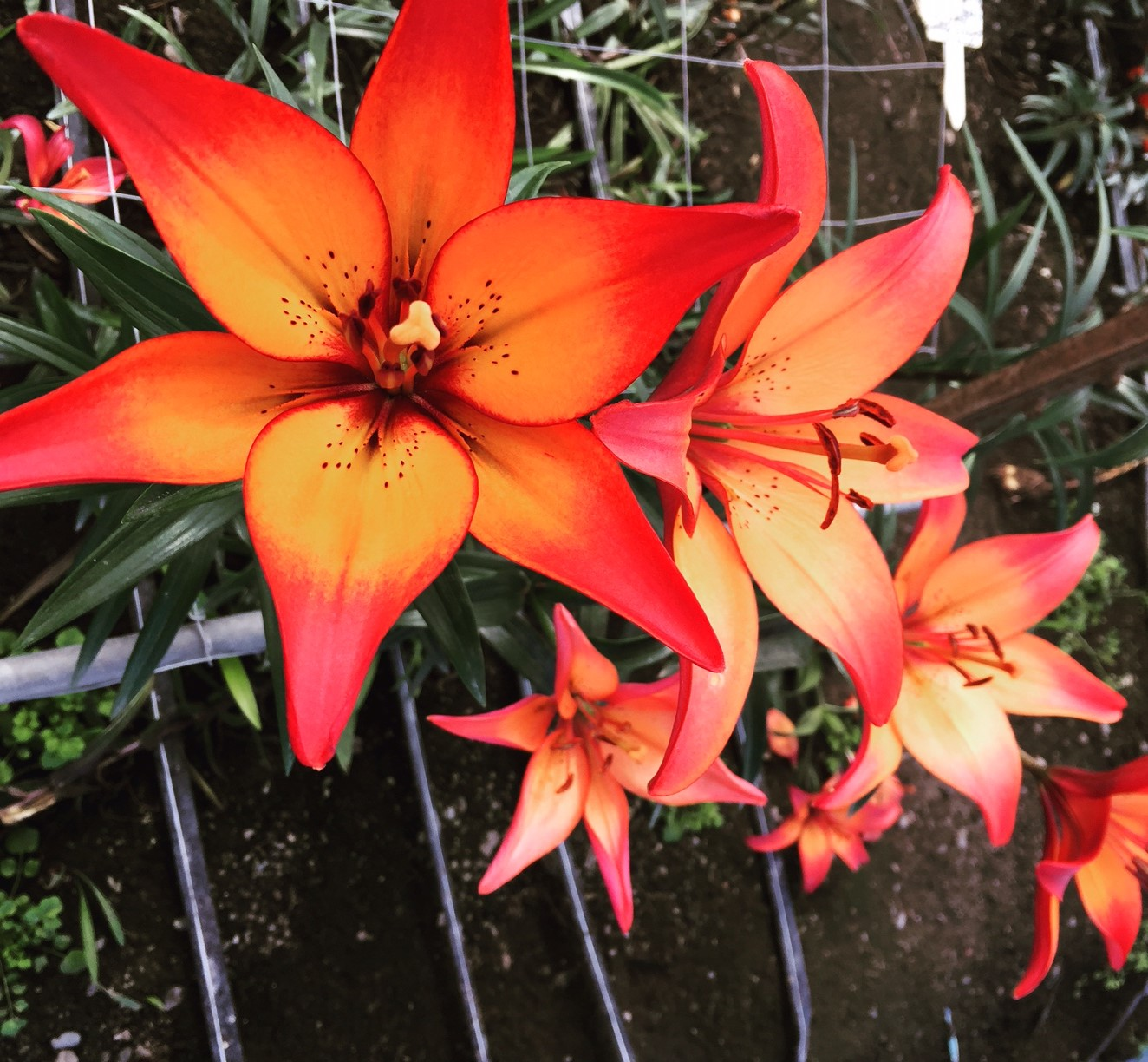 Election Recovery And Royal Sunset Lilies Flower Talk