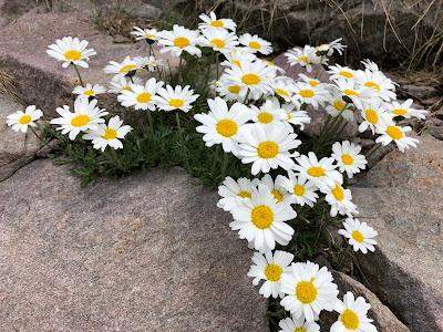 [Asteraceae] Leucanthemopsis alpina – Alpine Moon Daisy (Margherita alpina)