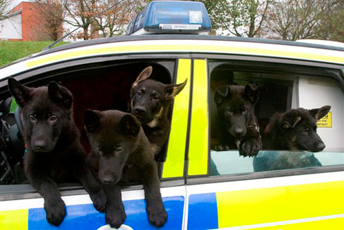 Lots of puppies in a stationary police car hanging out the windows