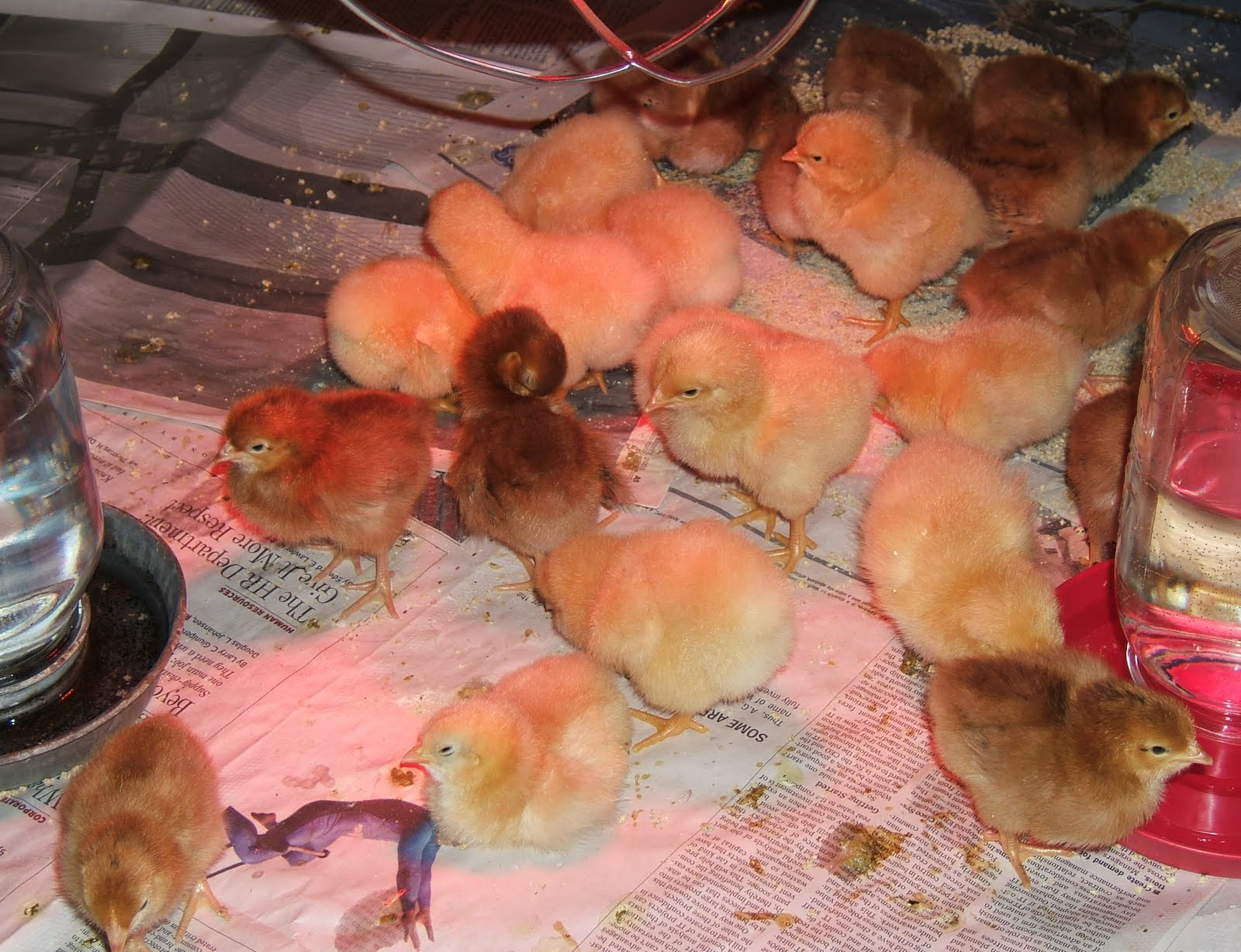 Reader Questions Heat Lamps And Baby Chicks Community Chickens
