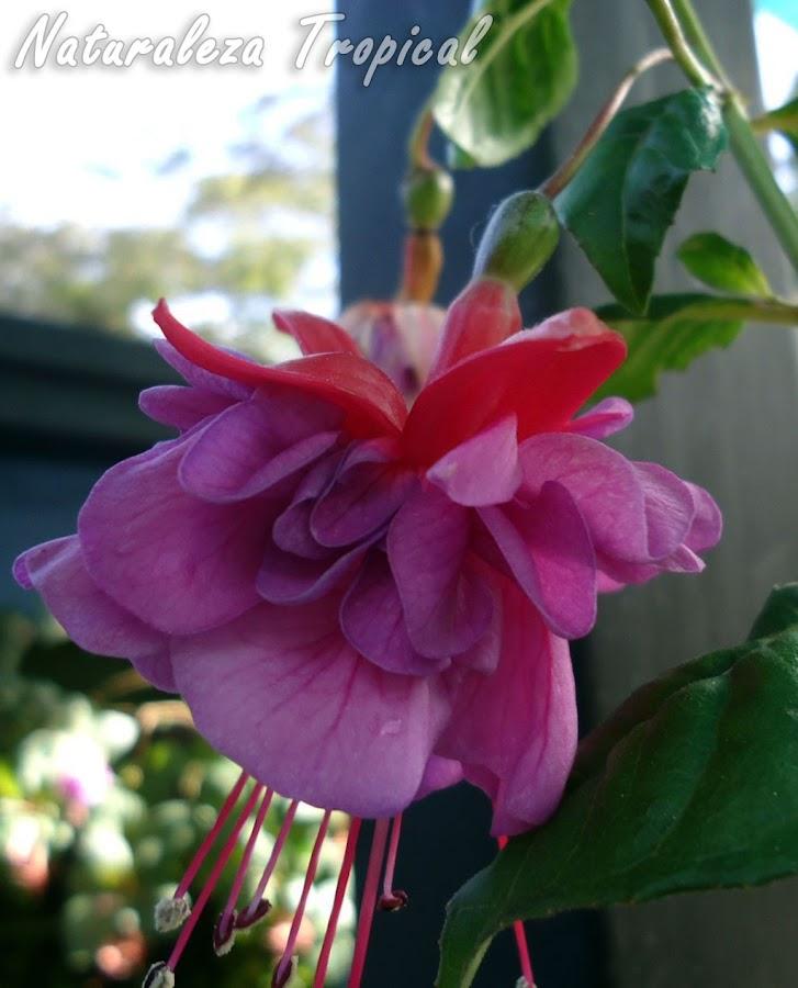 Flor con sépalos rojos y numerosos pétalos rosados de una Fuchsia, Pendientes de la Reina o Fucsia