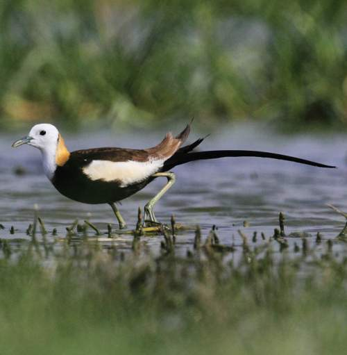 Indian birds - Image of Pheasant-tailed jacana - Hydrophasianus chirurgus