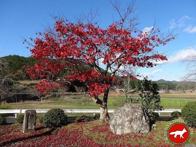 érable à la campagne de Kyoto