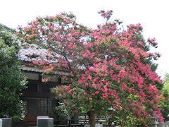 成福寺のサルスベリ