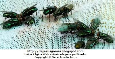 Foto de moscas en plena comida de Jesus Gómez