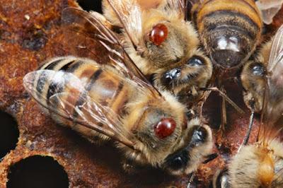 Κρας τεστ σκευασμάτων κατά της Βαρρόα που χρησιμοποιούν οι μελισσοκόμοι έγινε στην Ισπανία...Ενδιαφέρον αποτελέσματα!!!