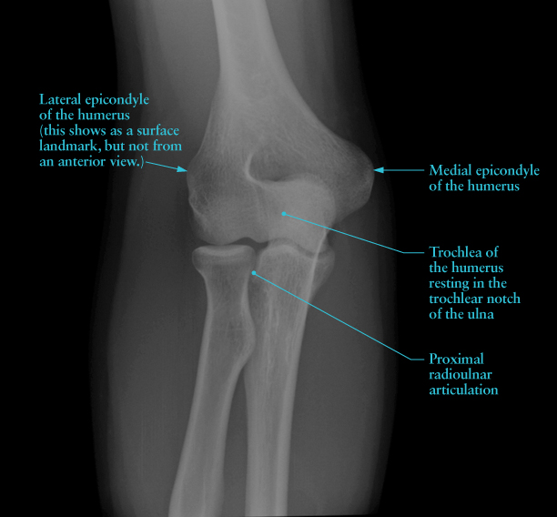 Human Anatomy for the Artist: The Elbow Joint, Part 1 ...