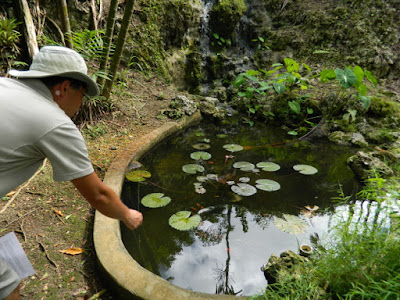 Waterfall fish pond at Orchid World Barbados by garden muses-not another Toronto gardening blog