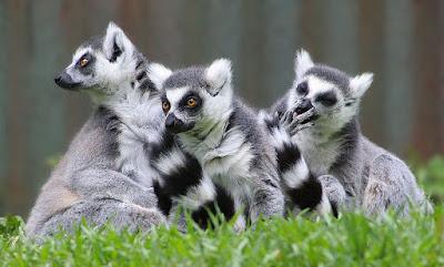 fakta menarik tentang lemur