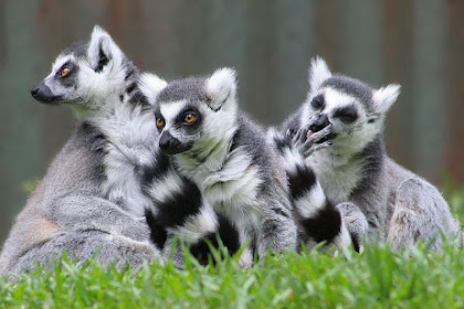 Mengenal Lemur, Si Primata Asli Dari Madagaskar