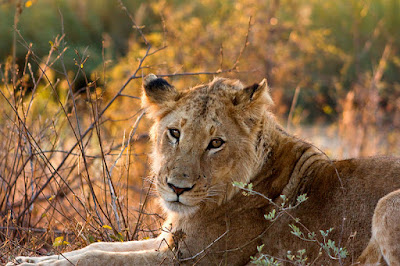 lion zimbabwe national park