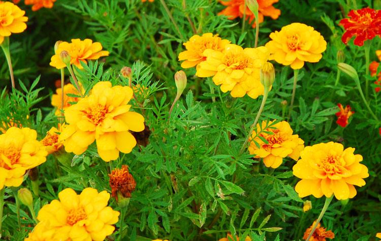 15 Tanaman Hias Bunga Kuning Tukang Taman Surabaya