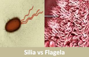 Perbedaan Silia dengan Flagela