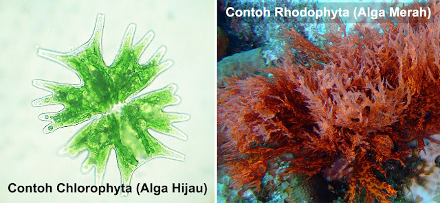 Contoh Chlorophyta (Alga Hijau) dan Rhodophyta (Alga Merah)