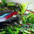 Amazing facts about Neon Tetra