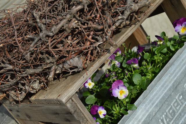 Ideer til vårblomstring i krukker - i fargene rosa/lilla - Kvistring og fiol/stemor